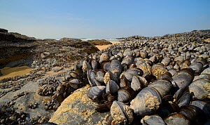 Dense bed of Common mussels (Mytilus edulis) exposed at low tide on rocks fringing a sandy beach, Godrevy, Cornwall, UK, April.  -  Nick Upton