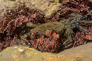 Velvet swimming crab (Necora puber) in a rock pool, hiding among Coralweed (Corallina officinalis), Cornwall, UK, March.  -  Nick Upton