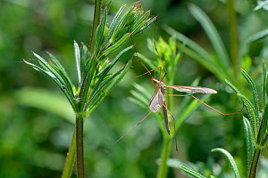 Male Common European Crane fly / Daddy long legs (Tipula paludosa) recently emerged and resting on Goose grass / Cleavers (Galium aparine) by a pond, Suffolk, UK, May.  -  Nick Upton