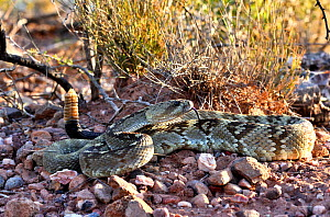 Eastern black-tailed rattlesnake (Crotalus ornatus) with tail held in air, amongst stones. Indio Mountains, Texas, USA. May. - Daniel  Heuclin