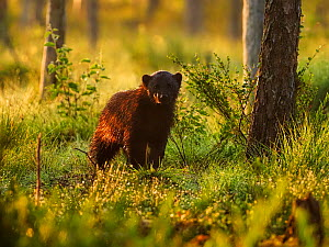 Wolverine (Gulo gulo) in forest at sunrise. Finland - Andy Rouse