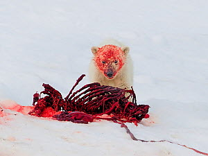 Polar bear (Ursus arctos) cub with blood on face after feeding on fresh seal kill, Svalbard, Norway, July.  -  Andy Rouse