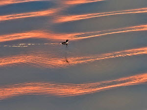 Black guillemot (Cepphus grylle) at sunset on water, Svalbard, Norway, July.  -  Andy Rouse