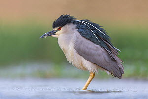Night heron (Nycticorax nycticorax) male standing in water. Kiskunsagi National Park, Hungary. May.  -  Melvin Grey