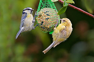 Blue tit (Cyanistes caeruleus), two feeding on fat ball, one leucistic. Carmarthenshire, Wales, UK. August.  -  Melvin Grey