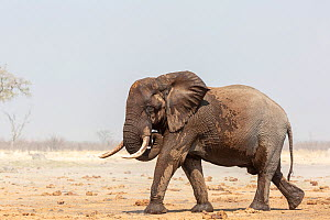 African elephant (Loxodonta africana), young bull walking to forest after drinking, during dust storm. Savuti , Chobe National Park, Botswana - Yashpal Rathore