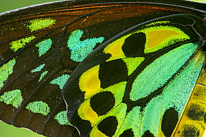 Cairns birdwing butterfly (Ornithoptera euphorion), male wing, close up. Kuranda Butterfly Sanctuary, North Queensland, Australia. Captive - Steven David Miller