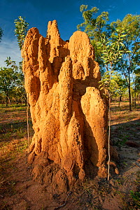 Cathedral termite (Nasutitermes triodiae) mound in sparse woodland. A mound of 7m can take 5-8 years to construct and contains millions of termites. Mary River National Park, Northern Territory. Weste...  -  Steven David Miller