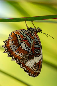 Orchard swallowtail butterfly (Papilio aegeus) on leaf. Coffs Harbour Butterfly House, Queensland, Australia. Captive.  -  Steven David Miller