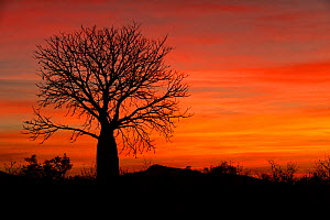 Baoab (Adansonia gregorii) tree silhouetted at sunset. Parry Lagoons Nature Park, The Kimberley, Western Australia. 2017.  -  Steven David Miller