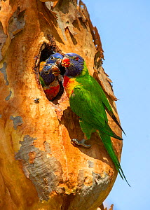 Rainbow lorikeet (Trichoglossus moluccanus) feeding chicks in nest hole. Lane Cove National Park, Sydney, New South Wales, Australia.  -  Steven David Miller
