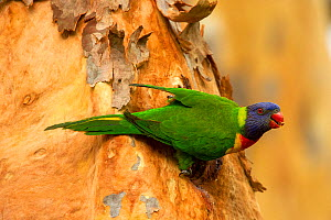 Rainbow lorikeet (Trichoglossus moluccanus) on tree trunk outside nesting hollow, food in beak to feed chicks. Lane Cove National Park, Sydney, New South Wales, Australia.  -  Steven David Miller