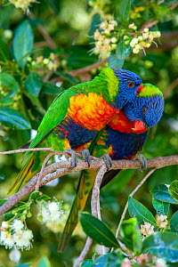 Rainbow lorikeets (Trichoglossus moluccanus) pair preening each other, perched in tree. Ulladulla, New South Wales, Australia. - Steven David Miller