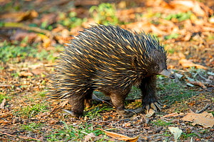 Short-beaked echidna (Tachyglossus aculeatus) foraging for ants and termites. Carnarvon National Park, Queensland, Australia.  -  Steven David Miller
