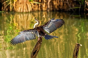 Australasian darter (Anhinga novaehollandiae) female drying wings after fishing in Corroboree Billabong, Mary River, Northern Territory. - Steven David Miller