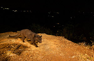 Brown palm civet (Paradoxurus jerdoni) on hillside, lights of rural settlements in background. Nilgiri Biosphere Reserve, India. Camera trap image.  -  Yashpal Rathore