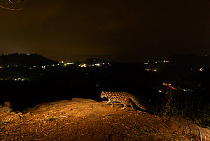 Leopard cat (Prionailurus bengalensis) walking along ridge at night. Lights on hills in background. Nilgiri Biosphere Reserve, India. 2019. Camera trap image.  -  Yashpal Rathore