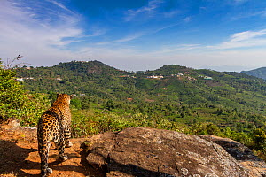 Indian leopard (Panthera pardus fusca) looking out over forested hills. Nilgiri Biosphere Reserve, India. 2017. Camera trap image.  -  Yashpal Rathore