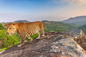 Indian leopard (Panthera pardus fusca) on rock with forested hills beyond. Nilgiri Biosphere Reserve, India. Camera trap image. 2019.  -  Yashpal Rathore
