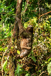 Brown-throated three-toed sloth (Bradypus variegatus) female and baby climbing tree in tropical rainforest. Corcovado National Park, Osa Peninsula, Costa Rica.  -  Kristel Richard
