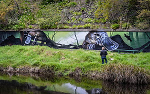 Tourist on Yarra River riverbank looking at Platypus (Ornithorhynchus anatinus) mural painted on wall by artist Jimmy Beattie, part of 'Communities for Platypus program'. ?Warburton, Victoria,...  -  Doug Gimesy