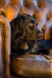 Black sprocker spaniel lying in Chesterfield armchair. Wirral, England, UK. - TJ Rich