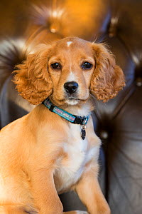 Golden cocker spaniel puppy aged 12 weeks, with collar and name tag, sitting in armchair, portrait. Wirral, England, UK. - TJ Rich