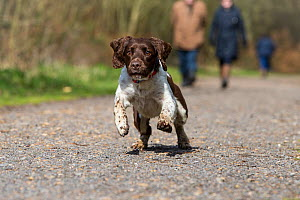 Springer spaniel running along track, people walking in background. Savernake Forest SSSI, Wiltshire, England, UK. - TJ Rich