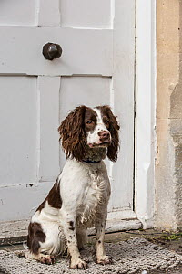 Young springer spaniel sitting on doorstep. Wiltshire, England, UK.  -  TJ Rich