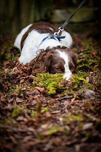 Young Springer Spaniel, lying down nose buried in leaf litter, on lead. Wiltshire, England, UK. March.  -  TJ Rich