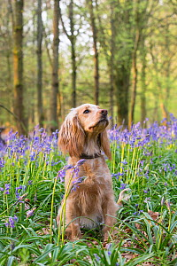 Golden working cocker spaniel sitting in Bluebell (Hyacinthoides non-scripta) wood. Wiltshire, England, UK. April.  -  TJ Rich
