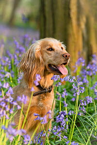 Golden working cocker spaniel panting, sitting amongst Bluebells in spring. Wiltshire, England, UK. April.  -  TJ Rich