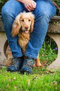 Golden working cocker spaniel sitting between owner's legs. Wiltshire, England, UK.  -  TJ Rich