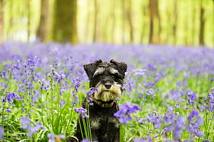 Miniature Schnauzer sitting in Bluebell (Hyacinthoides non-scripta) wood. Bedwyn Common, Savernake Forest SSSI, Wiltshire, England, UK. May. - TJ Rich
