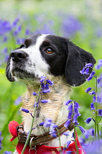 Black and white mongrel sitting amongst Bluebells, portrait. Gopher Wood SSSI, Marlborough Downs, Wiltshire, England, UK. May. - TJ Rich