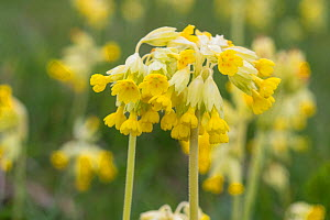 Cowslips Primula veris Pewsey Downs National Nature Reserve Wiltshire, UK  -  TJ Rich
