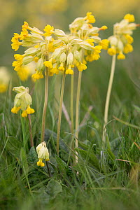 Cowslip (Primula veris) flowers. Pewsey Downs National Nature Reserve, Wiltshire, England, UK. May.  -  TJ Rich
