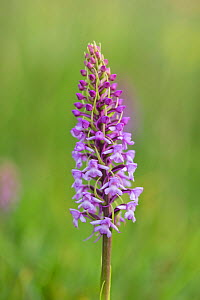 Fragrant orchid (Gymnadenia conopsea) flower spike. Pewsey Downs National Nature Reserve, Wiltshire, England, UK. June.  -  TJ Rich