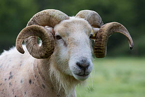 Wilsthire horn sheep with body bare of self shedding fleece, portrait. Surrey, England, UK.  -  TJ Rich