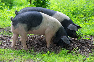 Berkshire pig, two gilts foraging in soil. Surrey, England, UK.  -  TJ Rich