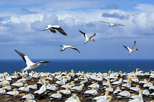 Breeding colony of Australasian gannets (Morus serrator) at Cape Kidnappers, Hawke's Bay, North Island, New Zealand.  -  Duncan Murrell