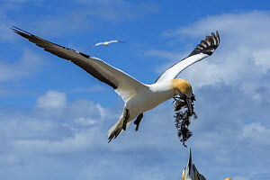 Australasian gannet (Morus serrator) male returning to the breeding colony with seaweed for nest-building. Cape Kidnappers, Hawke's Bay, North Island, New Zealand  -  Duncan Murrell