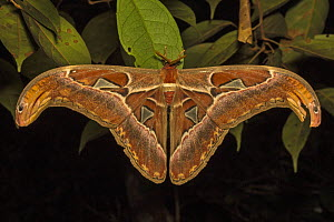 Atlas moth (Attacus atlas) in the (Sabangau (peat-swamp) Forest, Central Kalimantan, Indonesia.  -  Duncan Murrell