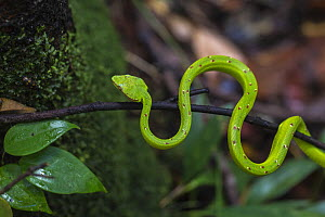 Bornean keeled pit viper (Tropidolaemus subannulatus) juvenile in the Sabangau (peat-swamp) Forest, Central Kalimantan, Indonesia. - Duncan Murrell