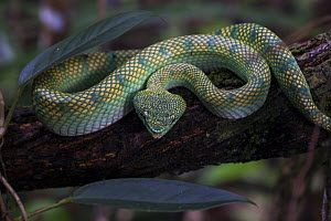 Bornean keeled pit viper (Tropidolaemus subannulatus) in the Sabangau (peat-swamp) Forest, Central Kalimantan, Indonesia. - Duncan Murrell
