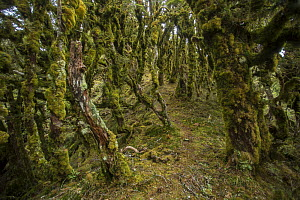 Silver beech / tawhai (Lophozonia / Nothofagus menziesii) cloud forest on the Manuoha Track, Te Urewera National Park, North Island, New Zealand.  -  Duncan Murrell