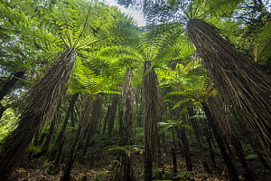 Tree ferns in Whirinaki Forest Park, North Island, New Zealand.  -  Duncan Murrell