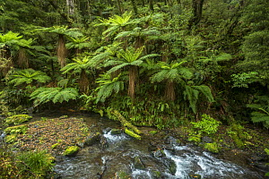 Tree ferns on the Mangamate Track in Whirinaki Forest Park, North Island, New Zealand.  -  Duncan Murrell