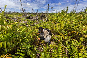 One of the local field staff of the Borneo Nature Foundation monitoring tree seedlings planted in the Sabangau (peat-swamp) Forest, Central Kalimantan, after the devastating Indonesian forest fires in... - Duncan Murrell