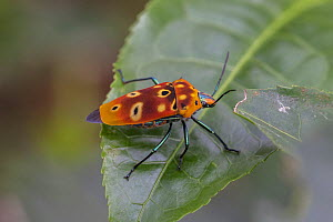 Ocellated shield bug (Cantao ocellatus), Deniyaya, Sri Lanka.  -  Duncan Murrell